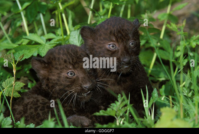 black panther leopard lying on stock photos  u0026 black panther leopard lying on stock images
