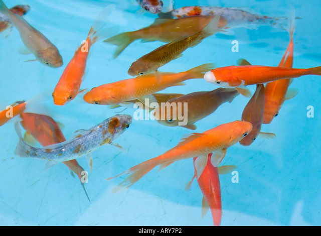 Garden pond uk fish stock photos garden pond uk fish for Outdoor goldfish for sale