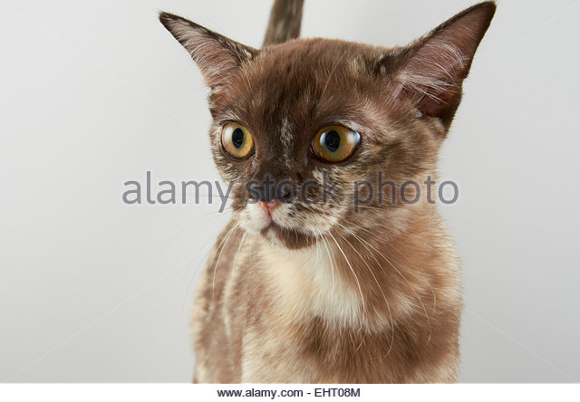Tortie Cat Stock Photos Amp Tortie Cat Stock Images Alamy