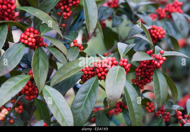 Fascinating Hollies Stock Photos  Hollies Stock Images  Alamy With Outstanding Red Berries In Winter  Stock Image With Agreeable Beautiful Small Trees For Garden Also How To Make Garden Shed In Addition Royal Garden Tenerife And Convent Garden Fx As Well As Folding Wooden Garden Chairs Additionally How To Keep Cats Out Of Your Garden From Alamycom With   Outstanding Hollies Stock Photos  Hollies Stock Images  Alamy With Agreeable Red Berries In Winter  Stock Image And Fascinating Beautiful Small Trees For Garden Also How To Make Garden Shed In Addition Royal Garden Tenerife From Alamycom