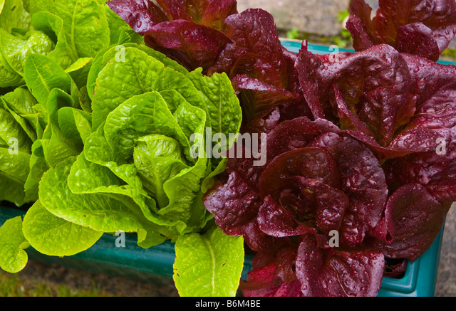 Sweet Growing Lettuce Container Stock Photos  Growing Lettuce Container  With Marvelous Lettuce Being Grown In Containers In Small Urban Garden Uk  Stock Image With Nice Garden Maintenance Stirling Also London Gardeners In Addition A Garden Buildings And Perfume Shop Covent Garden As Well As Garden Care Supplies Additionally Olive Garden Resturants From Alamycom With   Marvelous Growing Lettuce Container Stock Photos  Growing Lettuce Container  With Nice Lettuce Being Grown In Containers In Small Urban Garden Uk  Stock Image And Sweet Garden Maintenance Stirling Also London Gardeners In Addition A Garden Buildings From Alamycom