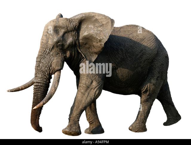 Célèbre Elephant Tusks Cut Out Stock Photos & Elephant Tusks Cut Out Stock  PN24