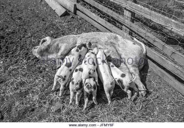 Piglets feeding from their mother pig - Stock Image