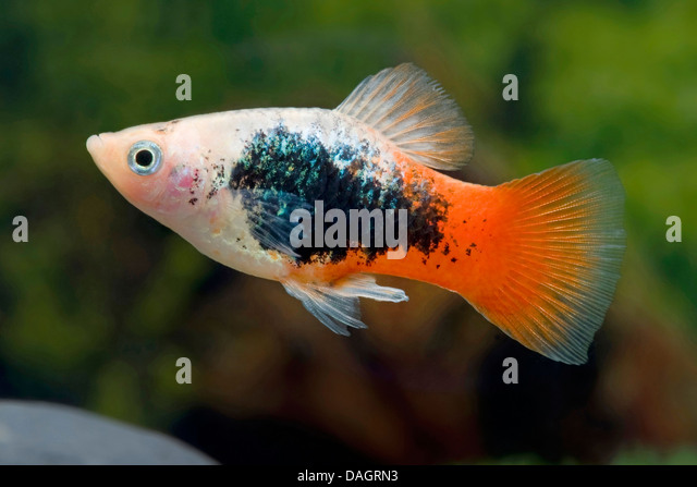 southern platyfish (Xiphophorus maculatus), breed Tuxedo White Red ...
