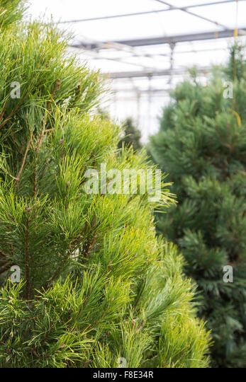 Scotch Pine Christmas Trees