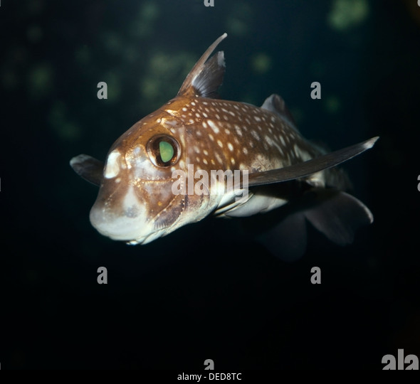 Ratfish En EspaГ±ol Ratfish Stock P...