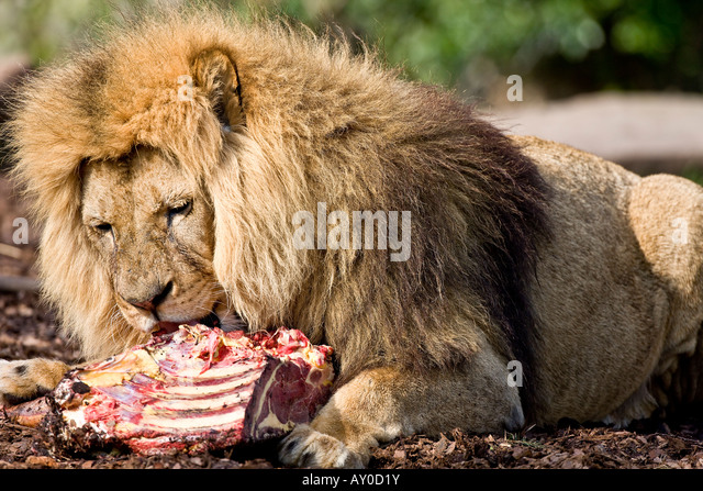 Lion eating meat
