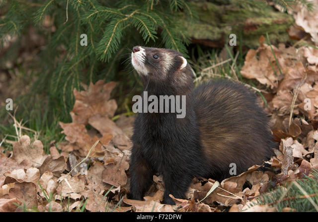 western polecat stock photos western polecat stock images alamy. Black Bedroom Furniture Sets. Home Design Ideas