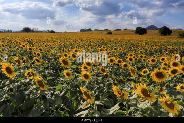 sunflower field picture blooming - photo #12