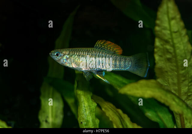 Poeciliidae stock photos poeciliidae stock images alamy Livebearer aquarium fish