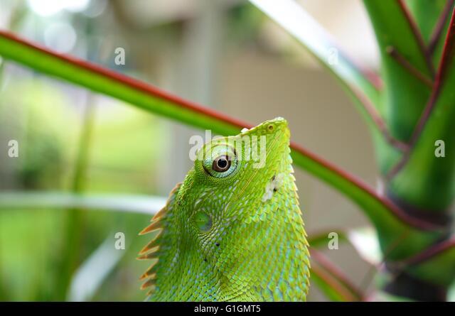 Chameleon Change Color Stock Photos & Chameleon Change ...