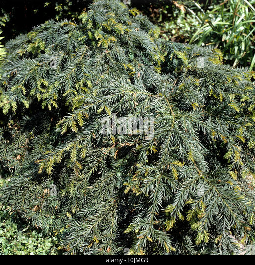taxus baccata hedge stock photos taxus baccata hedge stock images alamy. Black Bedroom Furniture Sets. Home Design Ideas