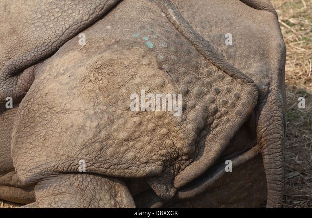 Asian Or Indian Greater One Horned Rhinoceros Rhinoceros Unicornis D Xxgk on Rhinoceros Rear End