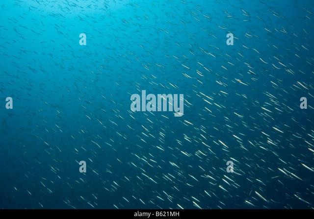Shoal of fish, Sardines (Sardina pilchardus), edible ...