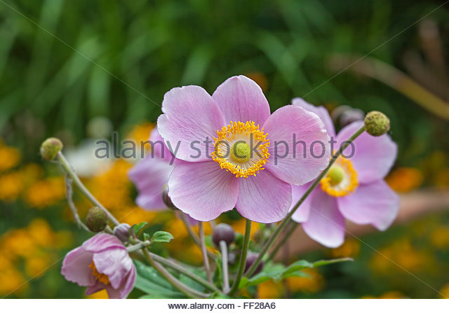 anemone hupehensis stock photos anemone hupehensis stock