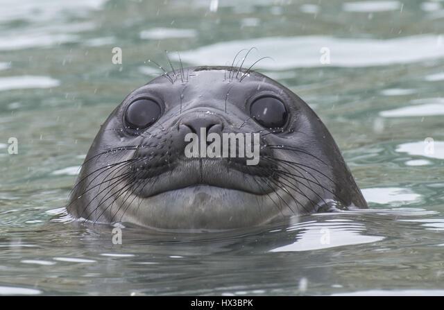 Elephant Seal Antarctica Snow Stock Photos & Elephant Seal ...