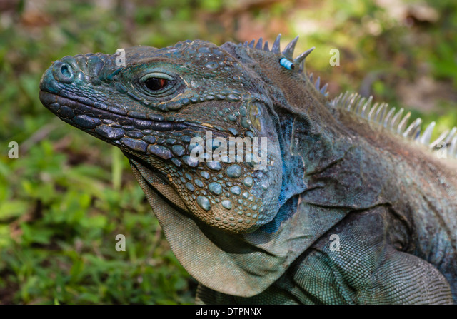 An Endangered Male Blue Iguana In The Shade On Grass At Queen Elizabeth II Botanic