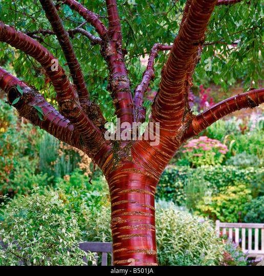 Stock photos amp prunus serrula prunus serrula stock images alamy