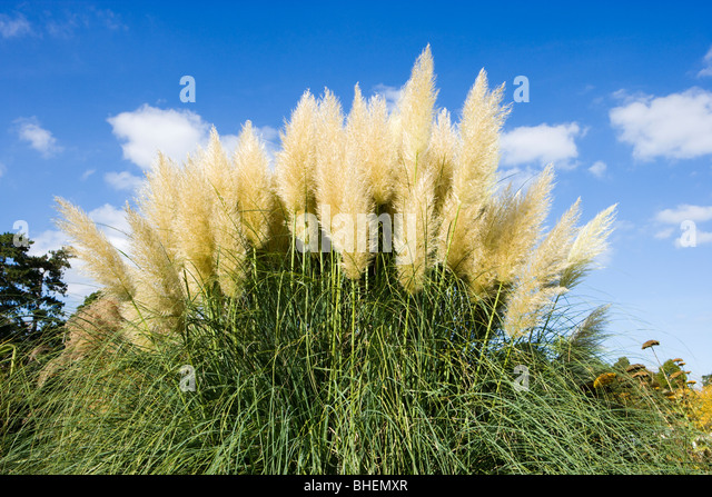 cortaderia selloana stock photos cortaderia selloana. Black Bedroom Furniture Sets. Home Design Ideas