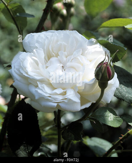 weiss rose stock photos weiss rose stock images alamy. Black Bedroom Furniture Sets. Home Design Ideas