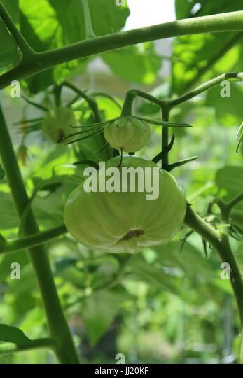 Brandywine tomato, a green heirloom tomato growing on plant - Stock Image