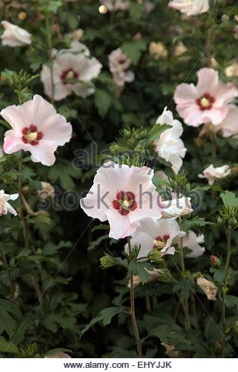 hibiscus shrub white stock photos hibiscus shrub white. Black Bedroom Furniture Sets. Home Design Ideas