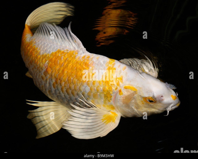 Koi Fish Pond Stock Photos Koi Fish Pond Stock Images