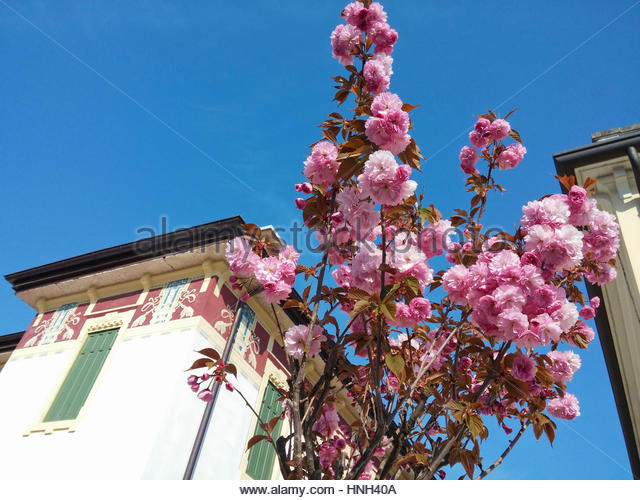 Close Up Apple Blossom On Street TreeItaly