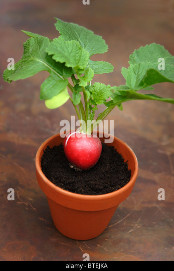 Radish stock photos radish stock images alamy - Salads can grow pots eat fresh ...