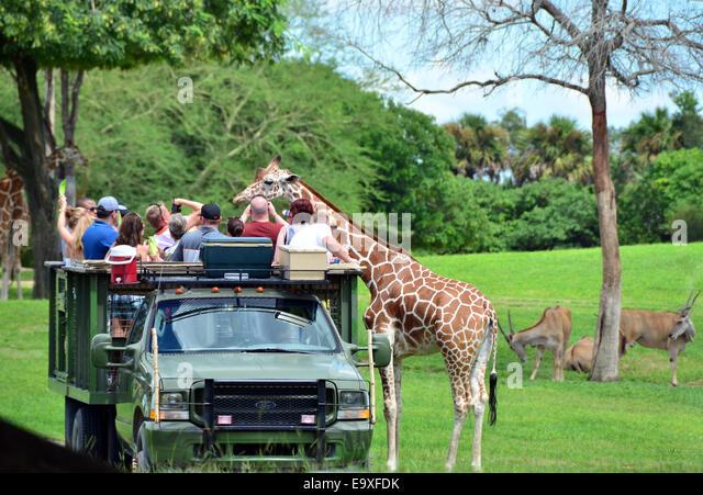 Giraffes Feeding Stock Photos Giraffes Feeding Stock