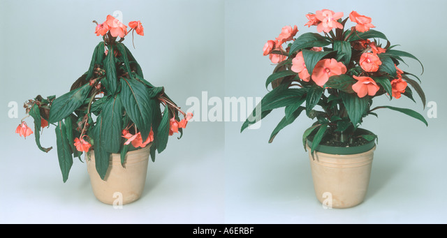Impatiens new guinea hybrid pot plant wilted before and healthy after stock photo picture and - Seven tricks for healthier potted plants ...