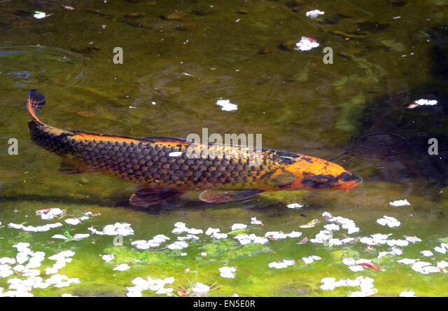 Koi carp uk stock photos koi carp uk stock images alamy for Ornamental pond fish uk