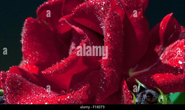 Roter, Korsar, Strauchrose; Rot,   Stock Image