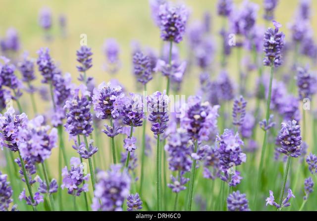 lavender lavandula angustifolia stock photos lavender. Black Bedroom Furniture Sets. Home Design Ideas