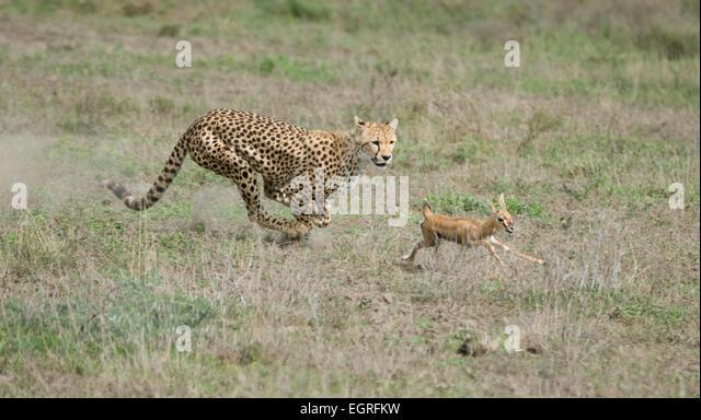 Cheetah Running After Gazelle