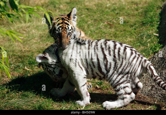 Tiger Cubs Stock Photos & Tiger Cubs Stock Images - Alamy