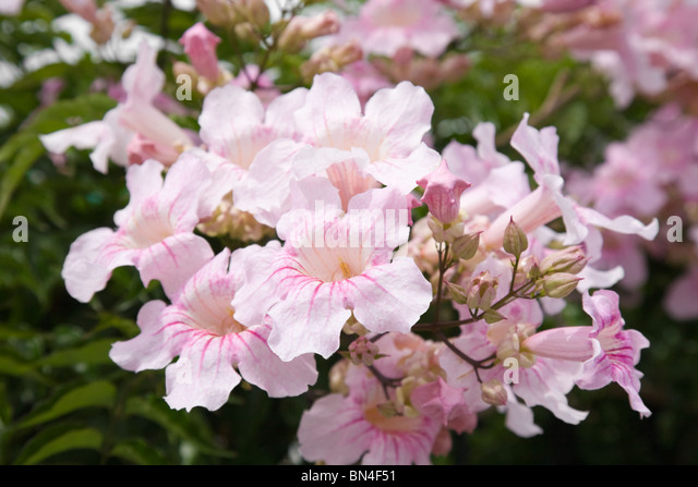 Large flower cluster pink trumpet vine stock photos large flower large flower cluster of pandorea ricasoliana pink tecoma pink trumpet vine port st mightylinksfo Image collections