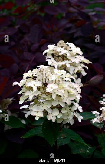 hydrangea paniculata stock photos hydrangea paniculata. Black Bedroom Furniture Sets. Home Design Ideas