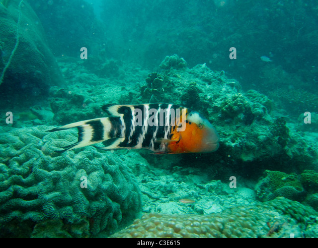 orange striped wrasse jpg 1200x900