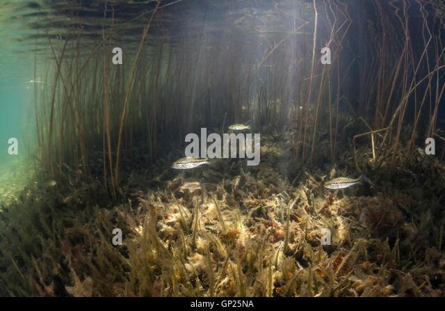 Freshwater fish usa stock photos freshwater fish usa for Freshwater fishing in massachusetts