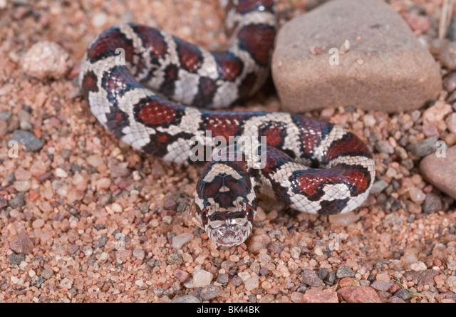 Eastern King Snake Stock Photos & Eastern King Snake Stock ...