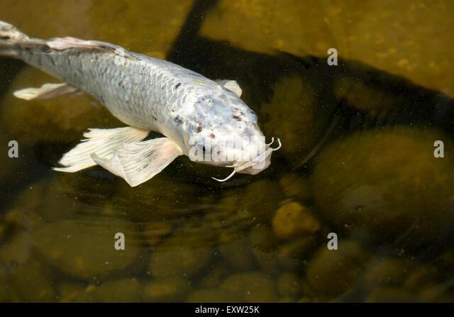 Koi pond fountain stock photos koi pond fountain stock for Ornamental pond fish golden