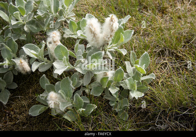 Salix Arctica Stock Photos & Salix Arctica Stock Images ...