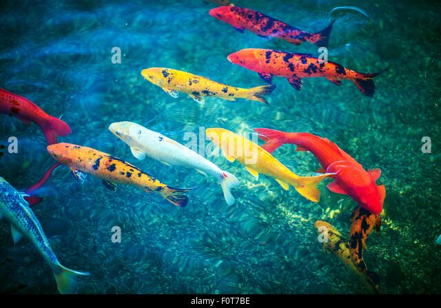 Fish water koi above stock photos fish water koi above for Colorful pond fish