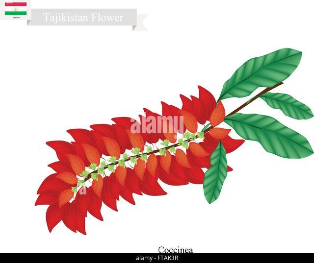 Tajikistan Flower Illustration Of Warszewiczia Coccinea Flowers One The Most Popular In