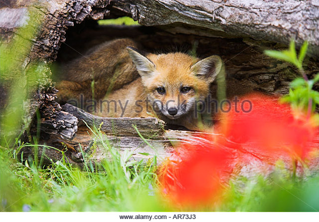 Rotfuchs Welpen Vulpes Vulpes Red Fox Pups Fotos Bilder