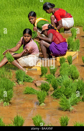 cotton plant hindu single women Benarasi saris are relatively heavy and worn by indian women  silk or cotton is used to make a  bhil women wear a single stretch of cloth.