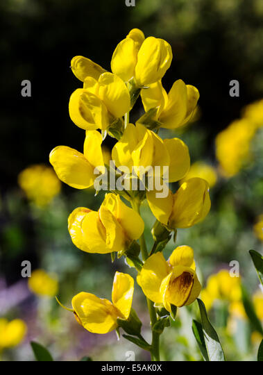 Fabaceae Pea Family Stock Photos & Fabaceae Pea Family ...