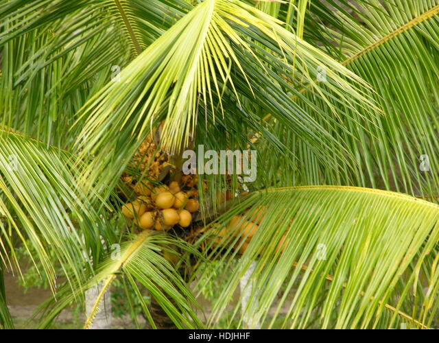 how to grow dates tree in india