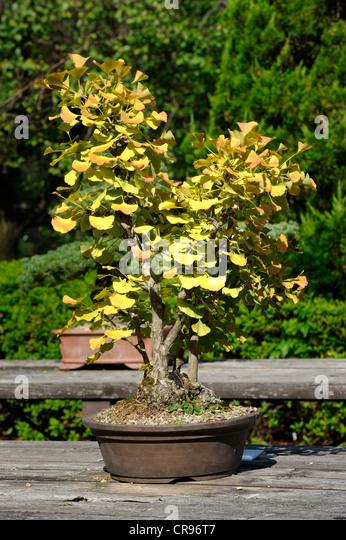 ginkgo bonsai tree stock photos ginkgo bonsai tree stock. Black Bedroom Furniture Sets. Home Design Ideas